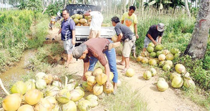 Permalink ke Petani Kelapa Menjerit, Harga Menukik di 3 Bulan Terakhir
