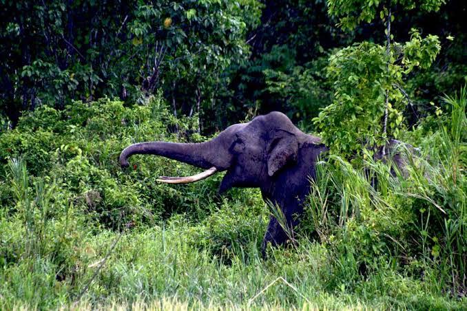 Permalink ke Petani Renah Pemetik Diteror Gajah