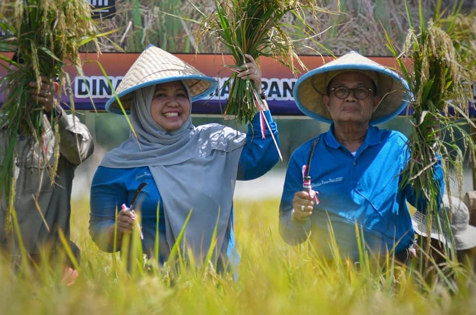 Permalink ke Bupati Masnah Bersama Gubernur Jambi Panen Raya Padi di Desa Pudak