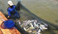 Permalink ke Di Jambi, Setahun Setiap Orang Makan Ikan 38 Kg
