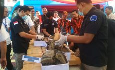 Permalink ke Peringati HANI, BNNP Jambi Musnahkan 74 Kg Ganja