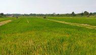 Permalink ke Memasuki Musim Tanam, Luas Tanam Padi di Batanghari Mencapai 4.078 Hektar