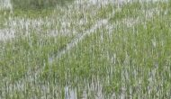 Permalink ke Ratusan Hektare Sawah di Batanghari Terendam Banjir